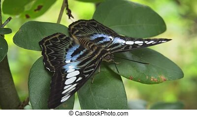 Clipper Butterfly in Closeup on Green Leaves. FullHD 1080p...