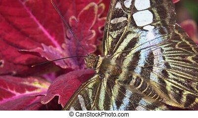 Clipper Butterfly in Extreme Closeup. hidef 1080p video -...