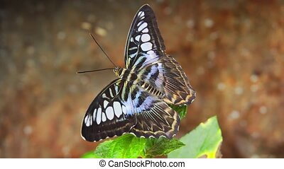 Clipper Butterfly Perched on a Leaf. hidef 1080p video -...