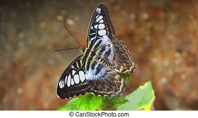 Solitary Parthenos sylvia, with it's typical blue, white, black and brown markings, perched on a green leafy plant in closeup. UHD 4k video