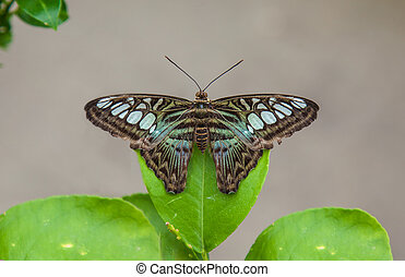 Clipper butterfly resting on leaf - Clipper Parthenos sylvia...