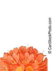 clivia miniata in full bloom