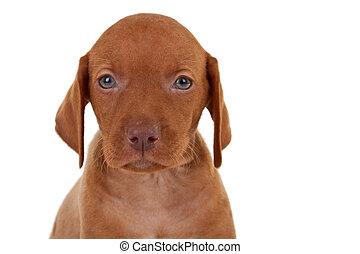 baby vizsla dog - cloaeup picture of a baby vizsla dog, over...