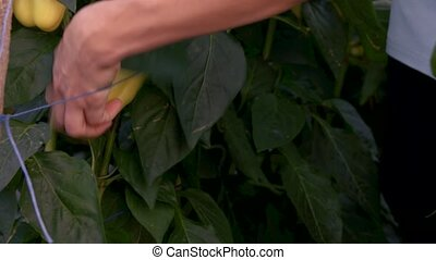 cloche, mains, greenhouse., poivres, haut, femme, cueillette, mûre