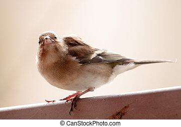 Cloe-up of a house sparrow.