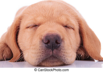 head of a sleeping labrador retriever puppy dog
