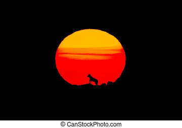 Cloned iberian wolf with huge sun at sunrise and black...