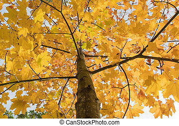 Clorful maple tree
