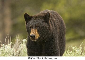 Close Black Bear - Black Bear (Ursus americanus) close to ...