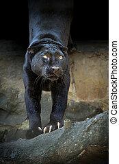 Close black leopard