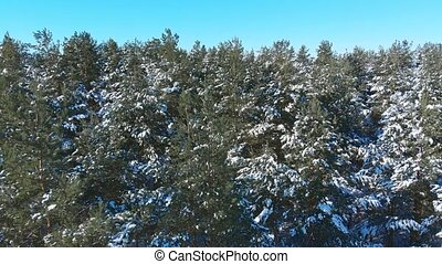 Close aerial view of the snow-dusted tops of pine trees in this forest wilderness in Russia.