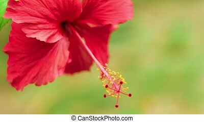 Close front view of a single red hibiscus flower slightly swinging on the wind