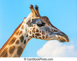 Close giraffe portrait
