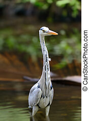 Close gray heron