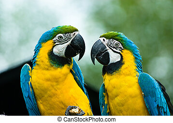 close-ip of a beautiful blue-and-yellow macaw's in love (Ara ararauna)