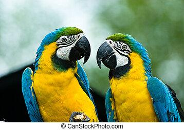 close-ip of a beautiful blue-and-yellow macaw's in love (Ara ararauna)