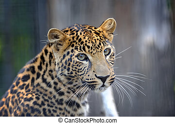 Close leopard portrait
