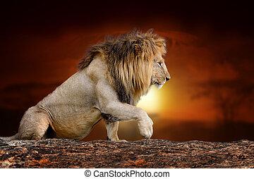 Lion on savanna landscape background and Mount Kilimanjaro at sunset