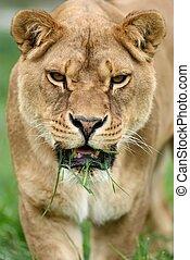Close lion portrait