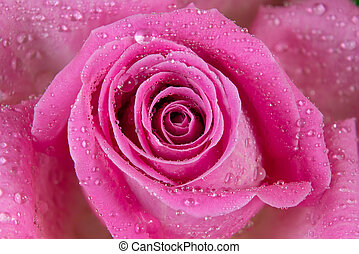 macro shot of a rose with water drops