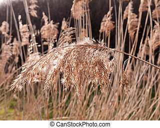 close of reed flower had spring across detail macro fresh golden grass