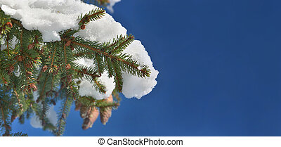 close on a branch of fir tree corvered in part with snow under blue sky