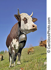 close on beautiful alpine cow with a bell in pasture under blue sky