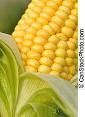 corncob - close on fresh corncob in foliage