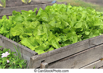 close on fresh lettuce growing on a wooden container in a vegetable garden