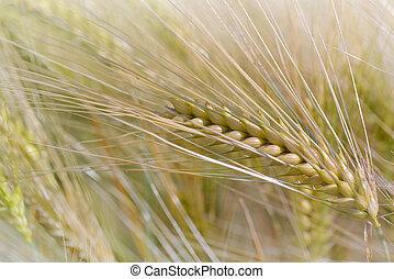 close on golden ear of wheat growing in a field in summer