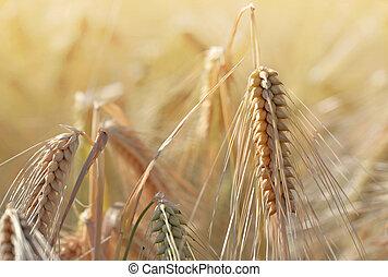 close on golden ear of wheat growing in a field