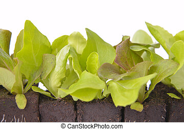 close on leaf a of lettuce seedlings in dirt on white background