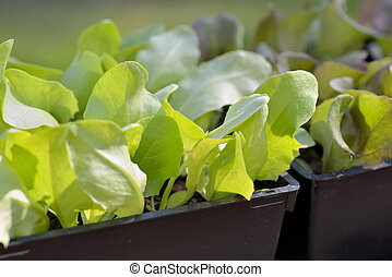 close on leaf of lettuce seedling in a box