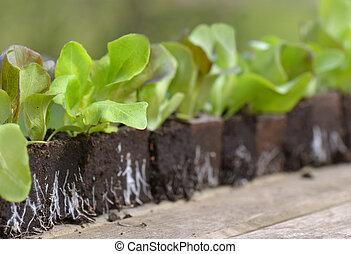 close on leaf of lettuce seedling in line on a garden table