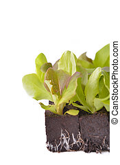 close on leaf of lettuce seedlings in dirt on white background