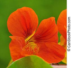 nasturtium - close on orange flower of nasturtium on green ...