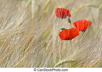 close on poppies blooming in a field of cereal in summer