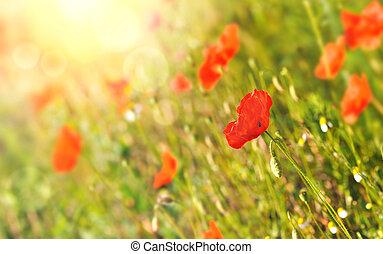 poppy in a sunny field