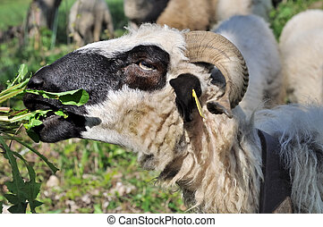 sheep grazing grass