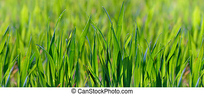 close on young green wheat growing in a field