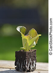 young lettuce seedlings in lump of soil put on a table in a garden