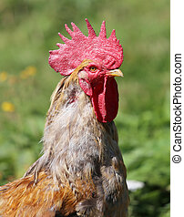 close portrait of a big rooster with the red Comb