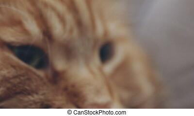 Close portrait of a red cat - Portrait of a red cat. Cat...