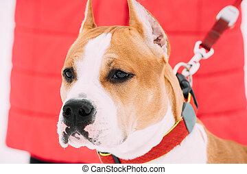 Portrait Of Beautiful Dog American Staffordshire Terrier