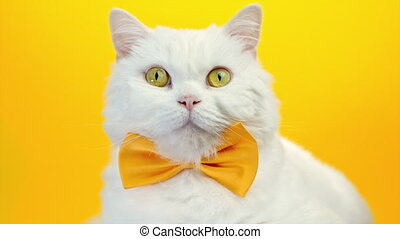 Close portrait of white furry cat in fashion sunglasses. Studio footage. Luxurious domestic kitty in glasses poses on yellow wall background. High quality 4k footage
