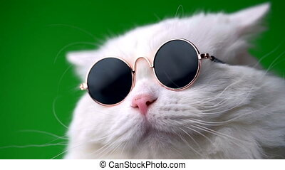 Close portrait of white furry cat in fashion sunglasses. Studio footage. Luxurious domestic kitty in glasses poses on green background wall