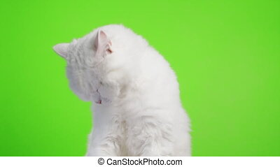 Close portrait of white furry cat washes, licks his paw and rubs muzzle. Studio footage. Luxurious domestic kitty poses on green chromakey wall background. High quality 4k footage