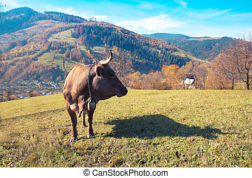 Close shoot of cow standing in the mountain pasture in Switzerland