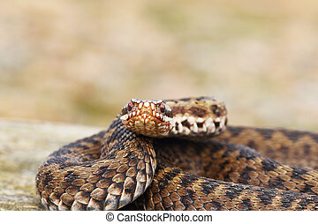 female common adder looking at the camera