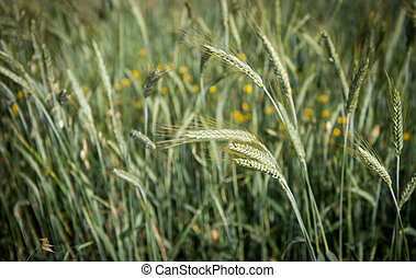 Cereal plant - Close uo of Green Cereal plant crops ready...
